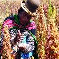 Producción de quinua disminuye en 20% por la sequía en Oruro