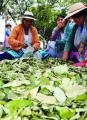 Cocaleros alistan anteproyecto de ley para más coca