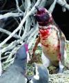 Pelea por infidelidad entre pingüinos se vuelve viral