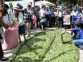 Bolivia pone en vigencia Ley General de la Coca que sepulta Ley 1008 y revaloriza la hoja milenaria para la vida